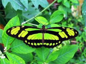Amazonas insekter i naturen