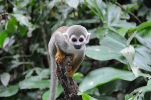 Amazonas dyr i naturen