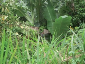 Amazonas planter