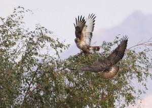 fugl2 Eilat Israel
