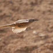 Fugletur til Eilat 2018