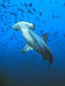 Hammerhaj Galapagos